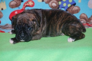 boxers for sale 4-weeks06