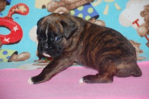 boxers for sale 4-weeks07