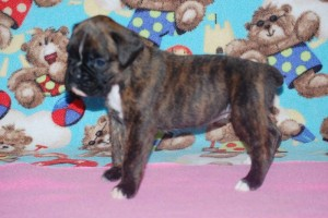 boxers for sale 4-weeks08