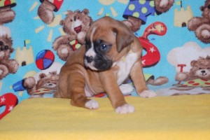 boxers for sale 4-weeks09