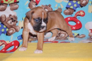 boxers for sale 4-weeks10