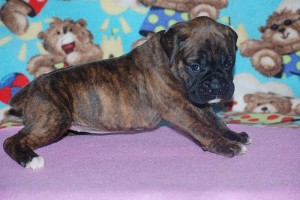 boxers for sale 4-weeks11