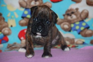 boxers for sale 4-weeks12