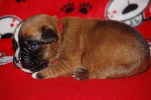 puppies-2-week-11