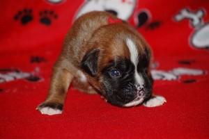 puppies-2-week-12