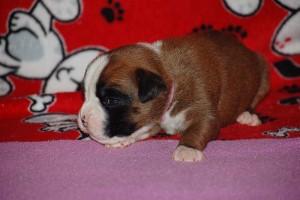 puppies-2-week-13