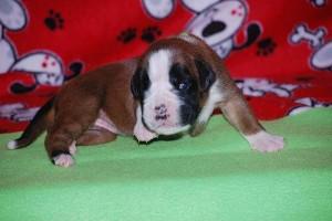 puppies-2-week-15