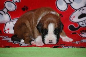 puppies-2-week-16