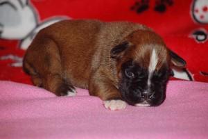 puppies-2-week-17