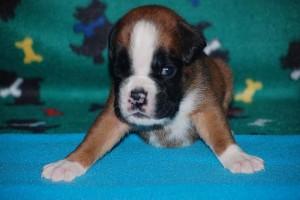 puppies-3-weeks-old01