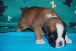 puppies-3-weeks-old02