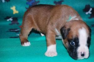 puppies-3-weeks-old03