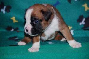 puppies-3-weeks-old04