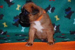 puppies-3-weeks-old06