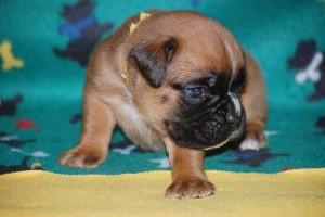 puppies-3-weeks-old07