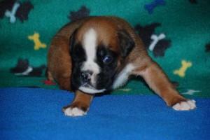 puppies-3-weeks-old09