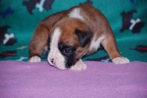 puppies-3-weeks-old13