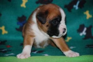 puppies-3-weeks-old16