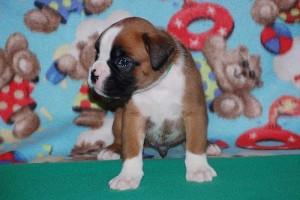 puppies 4-weeks03