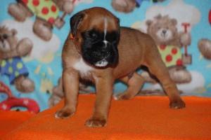 puppies 4-weeks06