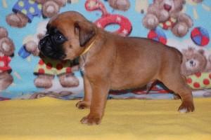 puppies 4-weeks08