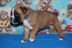puppies 4-weeks09