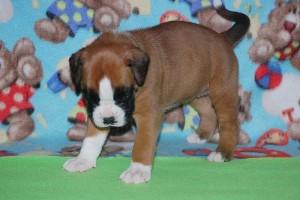 puppies 4-weeks16