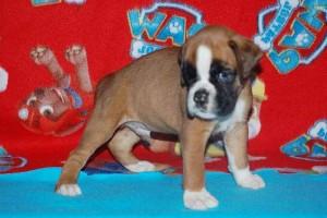 puppies 5-weeks01