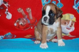 puppies 5-weeks02