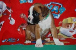 puppies 5-weeks03