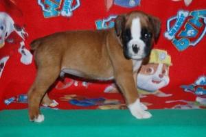 puppies 5-weeks04
