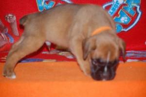 puppies 5-weeks05