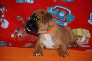 puppies 5-weeks06