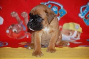 puppies 5-weeks07