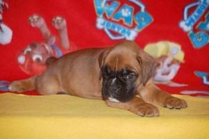puppies 5-weeks08