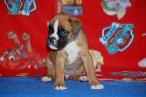 puppies 5-weeks09