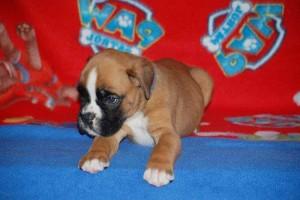 puppies 5-weeks10