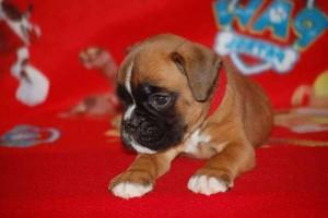puppies 5-weeks11