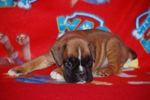 puppies 5-weeks12