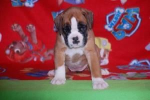 puppies 5-weeks16