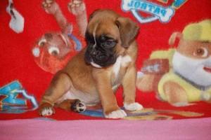 puppies 5-weeks18