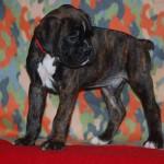puppies-7-weeks02