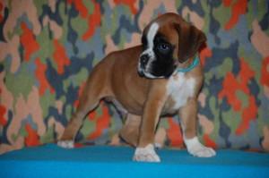 puppies-7-weeks15