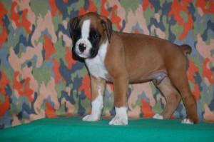 puppies-7-weeks17