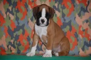 puppies-7-weeks18