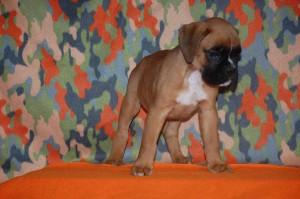 puppies-7-weeks19