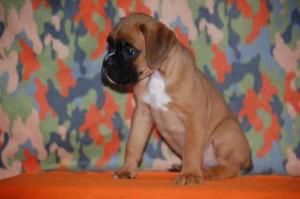 puppies-7-weeks20