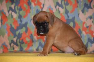puppies-7-weeks21