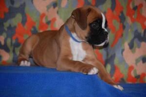 puppies-7-weeks24