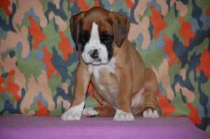 puppies-7-weeks27